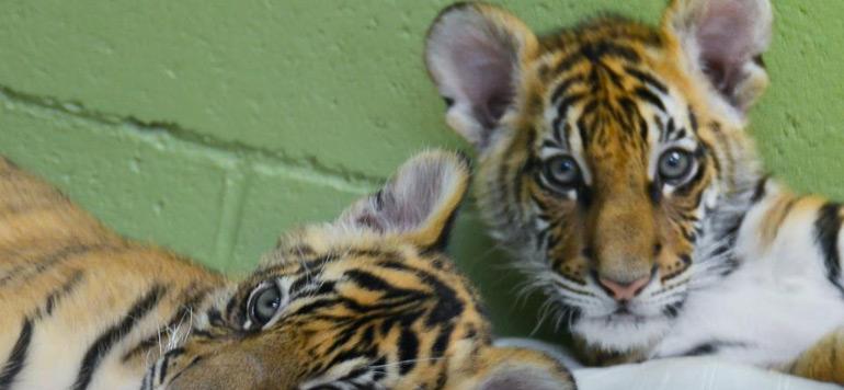 Inde: une maman tigre en plastique pour sauver trois félins orphelins
