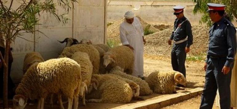Benguerir: Un voleur de bétail arrêté par la Gendarmerie Royale