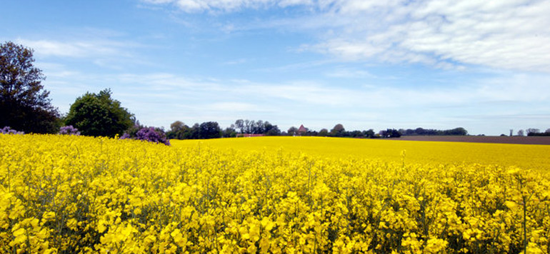 Danemark : des chercheurs découvrent une huile végétale à base de moutarde