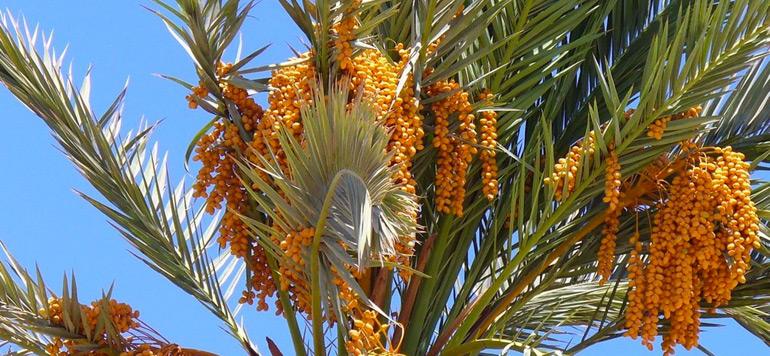 Palmier dattier : les objectifs en voie d'être atteints