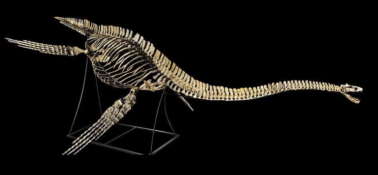 Le Squelette du dinosaure marin vient d'être restitué au Maroc