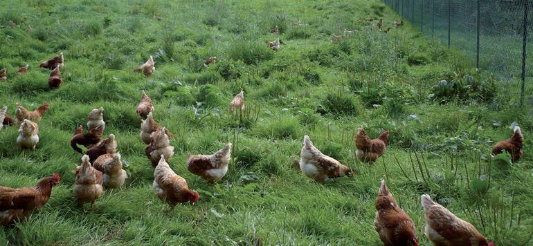 Le marché du poulet monte en gamme