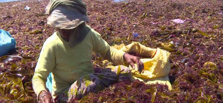Algues marines : la saison de ramassage a démarré sous de bons auspices
