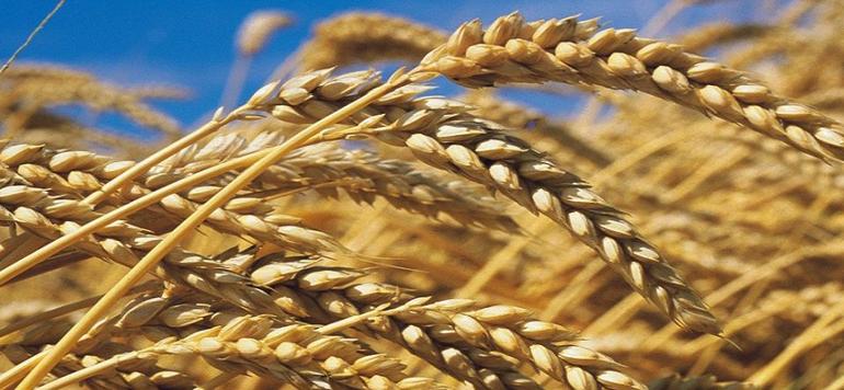 Une série de mesures pour protéger la production nationale de blé tendre