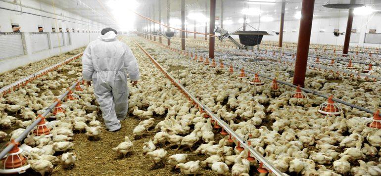 Le Maroc prêt à aider le Ghana à produire de la volaille localement