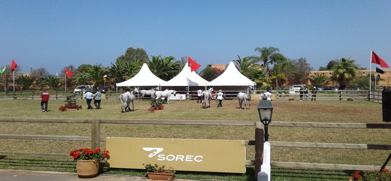 Concours d'élevage: le Haras Royal de Bouznika domine le Championnat national des chevaux Pur-sang arabe